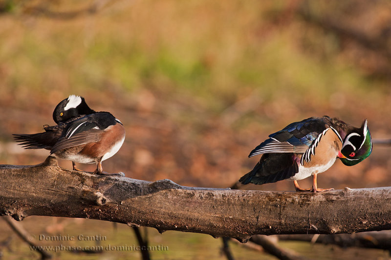 Harle couronn�é & Canard Branchu (m) / Hooded Merganser & Wood duck (m)