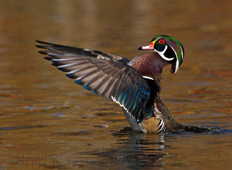 Canard branchu (m) / Wood Duck (m)
