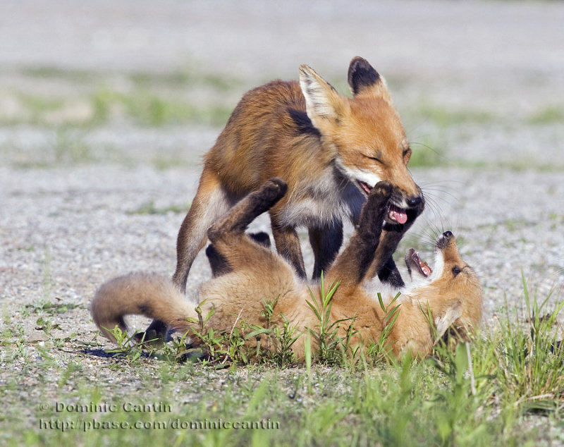 Renard roux / Red fox