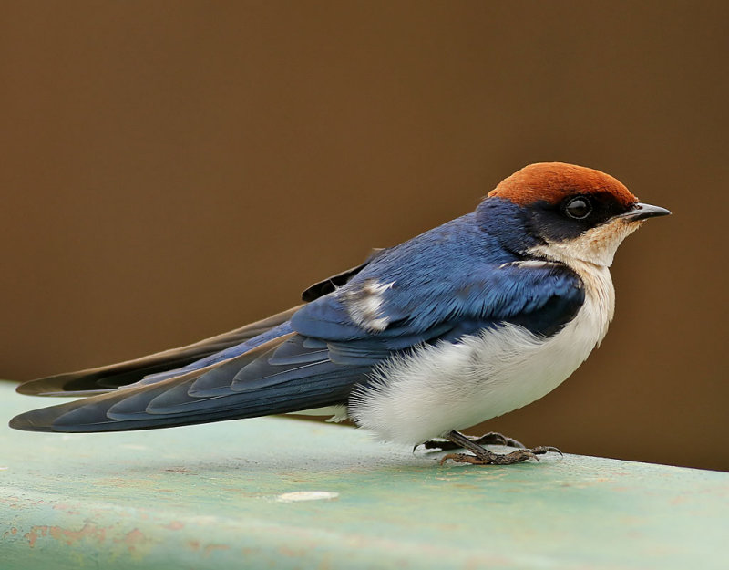 Trådstjärtad svala <br> Wire-tailed Swallow <br> Hirundo smithii