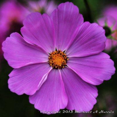 Wildflower - West Virginia