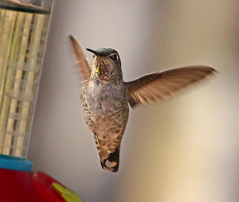 Annas Hummingbird (Adult Female)