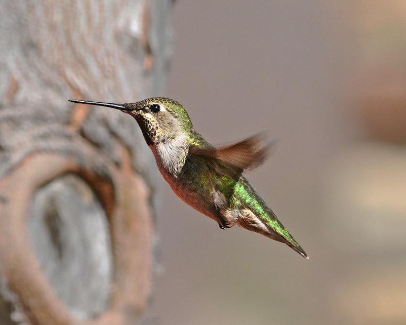 Annas Hummingbird (Female)