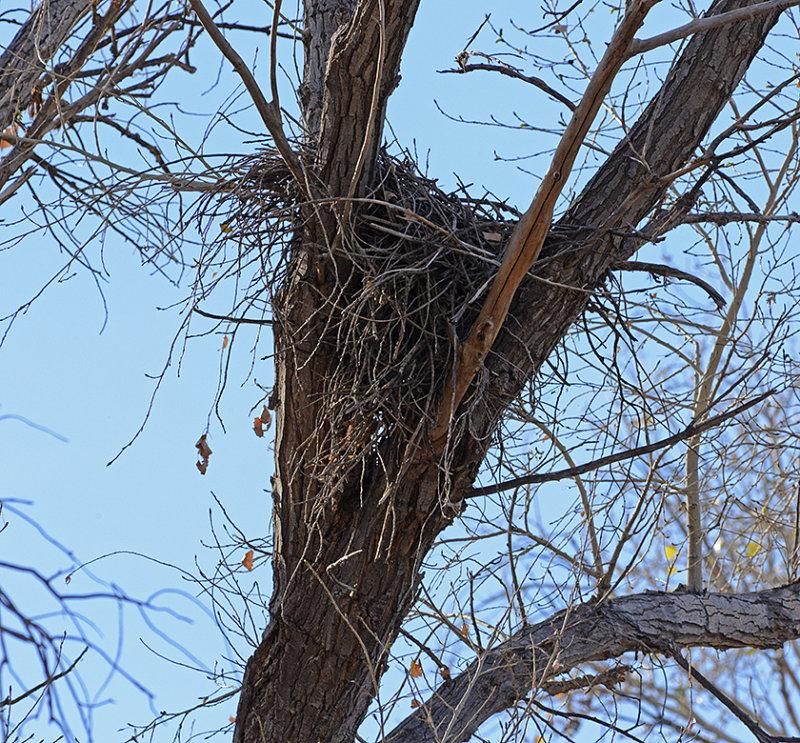 Common Black Hawks Nest