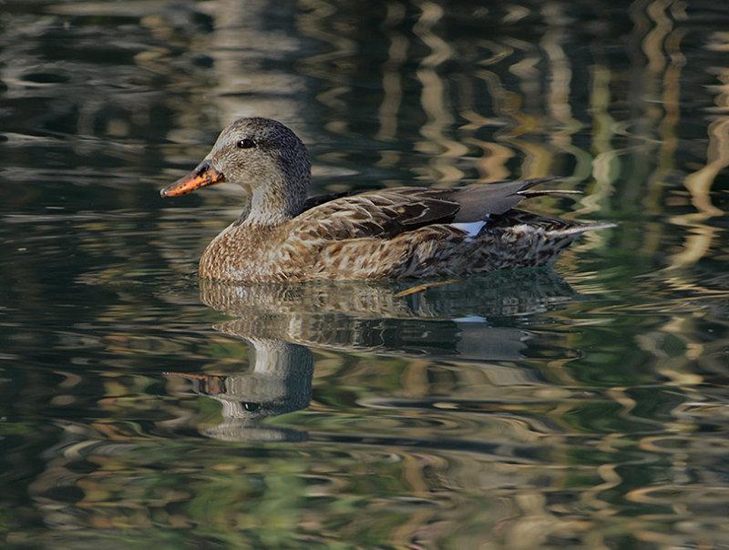 Gadwall (Female)