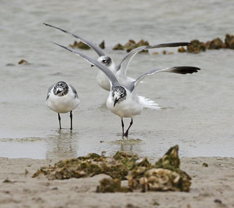 Laughing Gulls (2nd Winter)