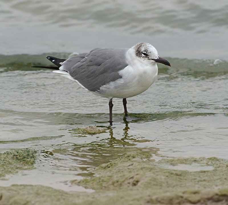 Laughing Gull (Non-breeding)