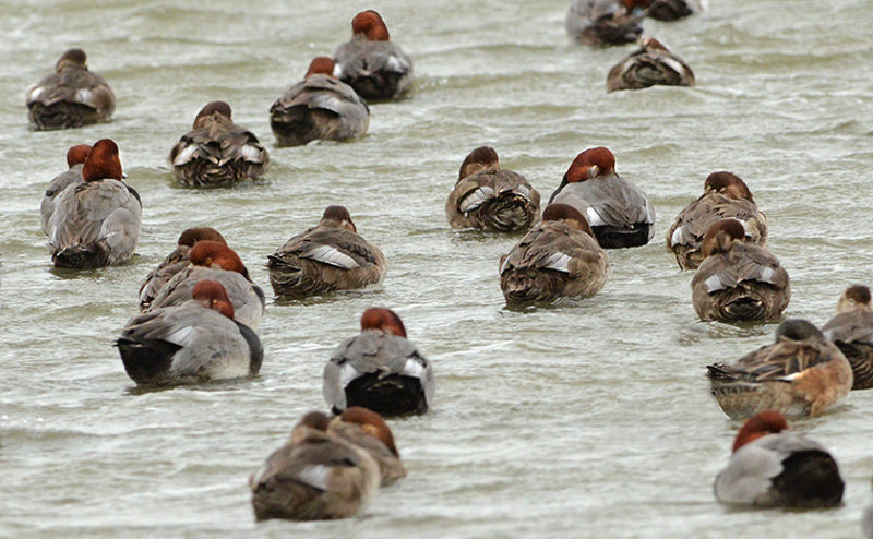 Redheads (Females & Males)