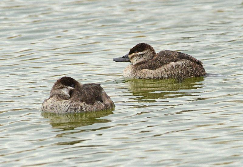 Ruddy Ducks (Females)