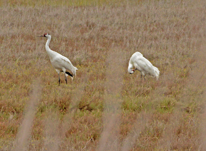 Whooping Cranes (Rare and Endangered)