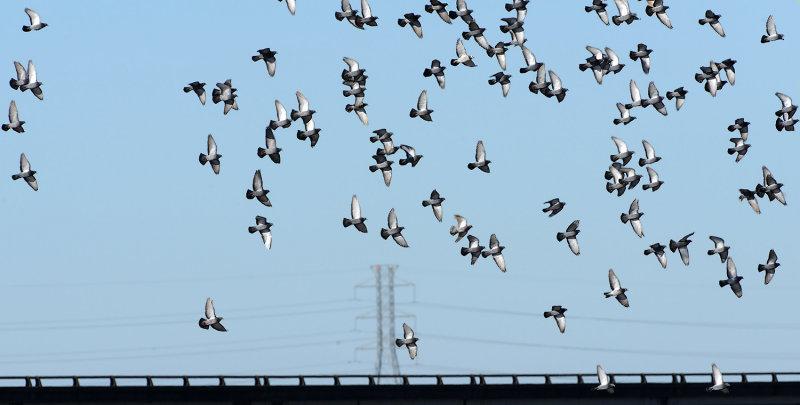 Rock Doves (Feral Pigeons)