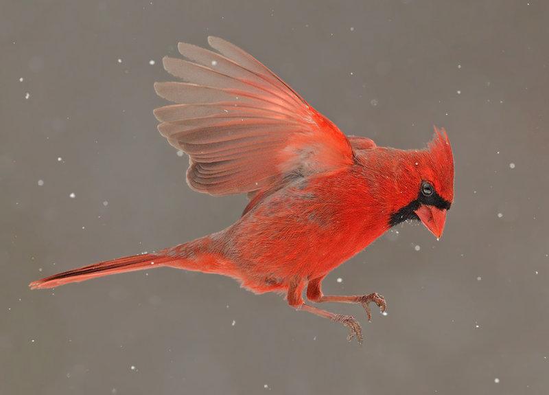 Northern Cardinal Flight