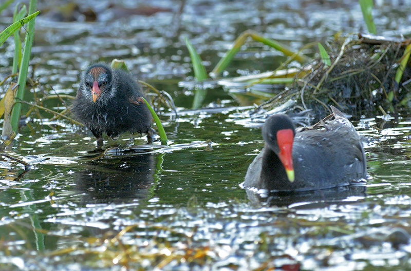 Common Moorhen Adult and Chick