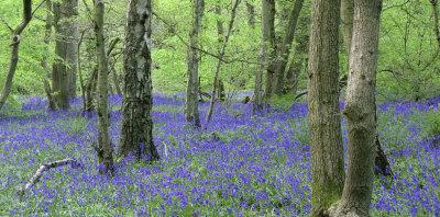 Bluebell Woods,Banstead, Surrey