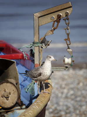 The young Gull gets the scrap