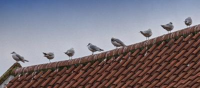 British Gulls always Queue