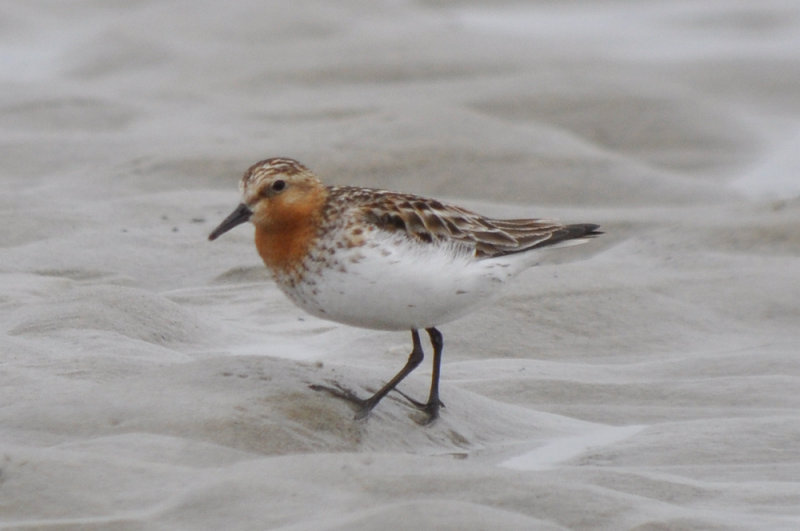 Red- necked Stint Sandy Point Plum Island Ma