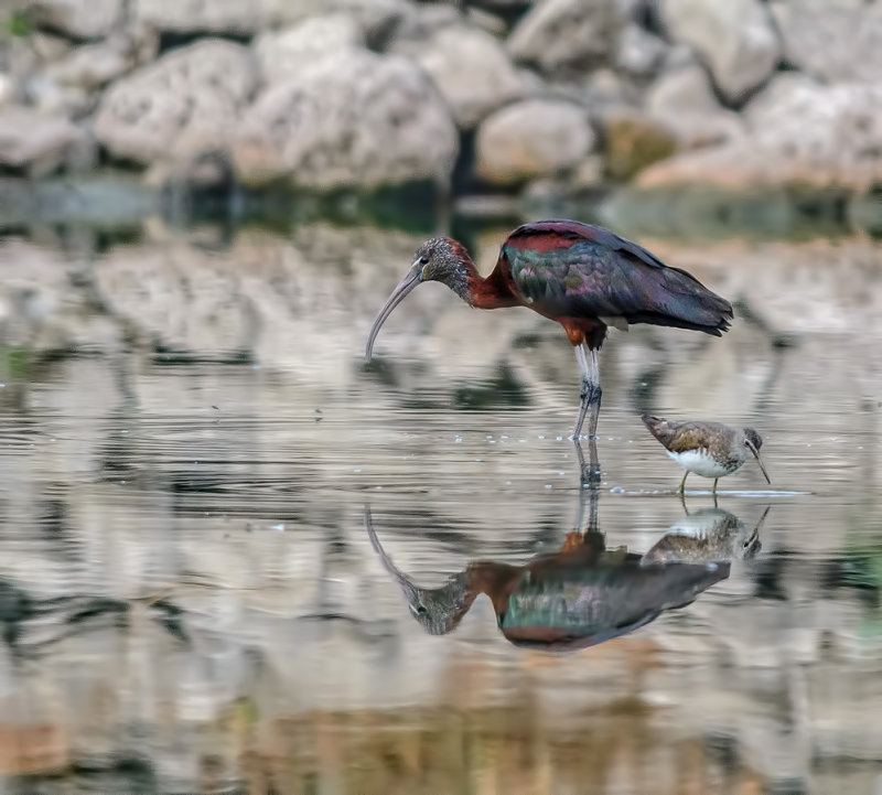 Magelan (Glossy Ibis)