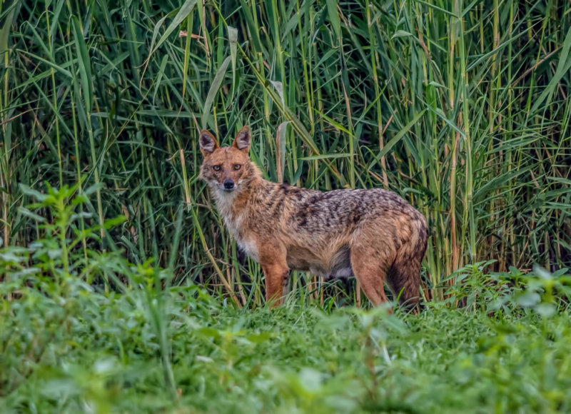 Golden Jackal (female)