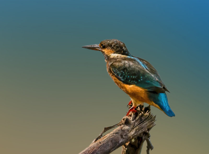 The king of all fisherbirds