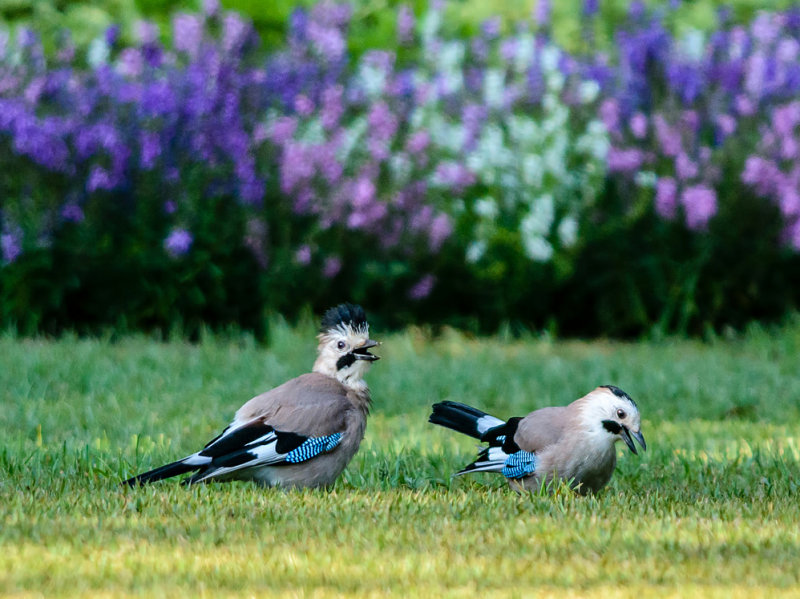 A couple of screaming jays