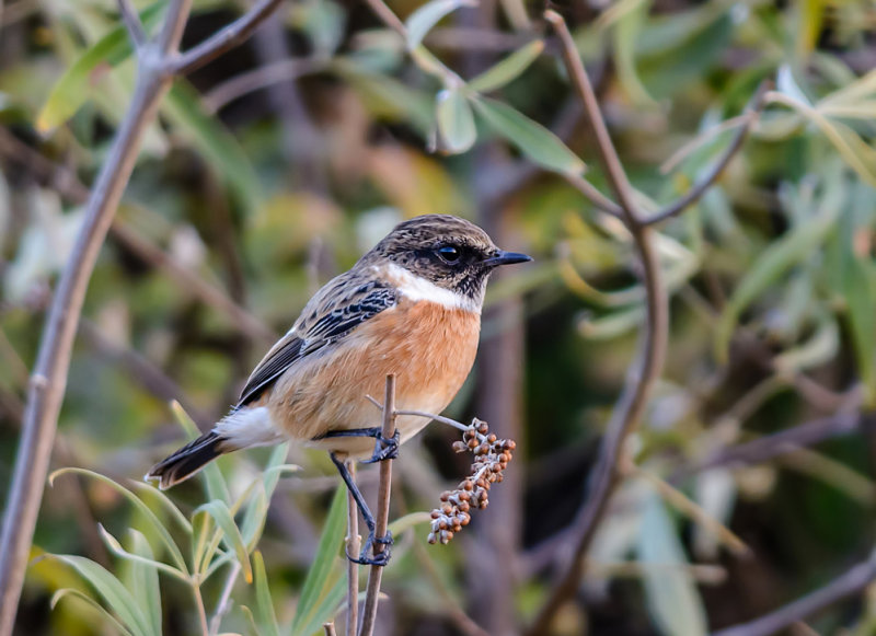 Stonechat in the thicket
