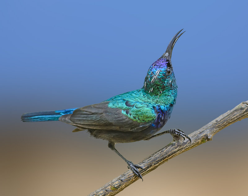 And another sunbird