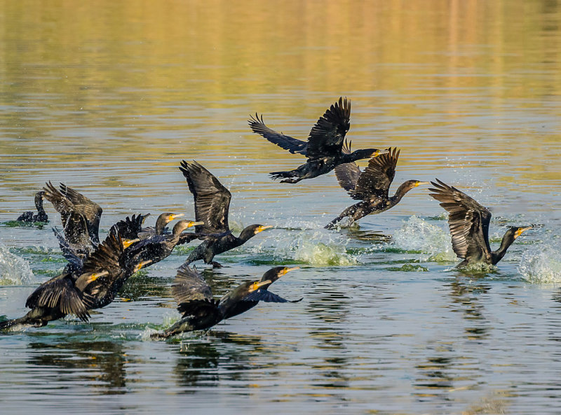 The Flight of the Cormorants