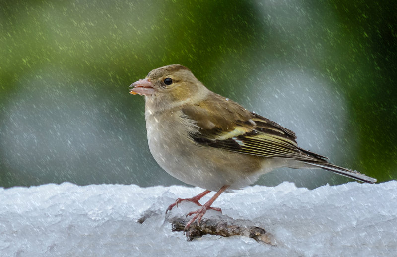 Chaffinch in the snow