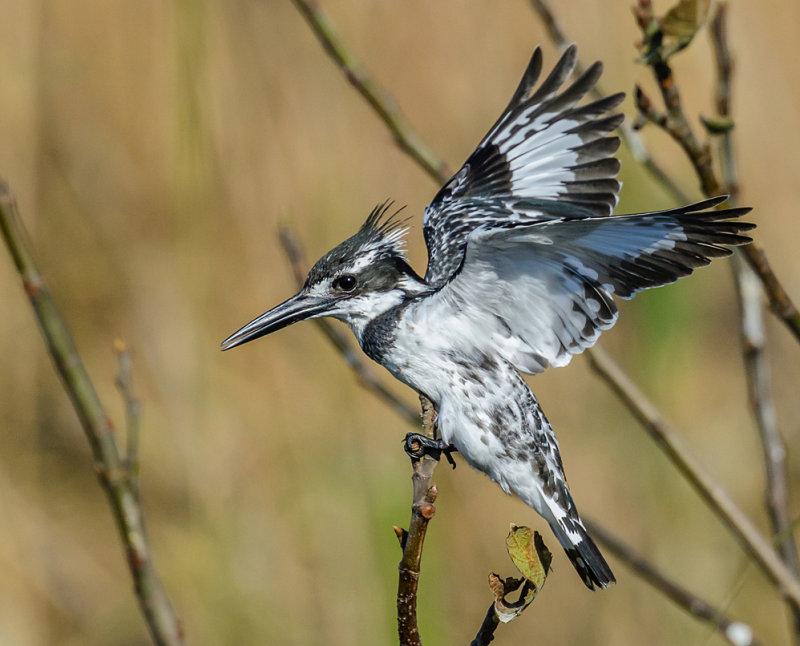 The princefisher