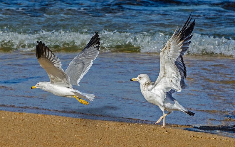 Playful seagulls