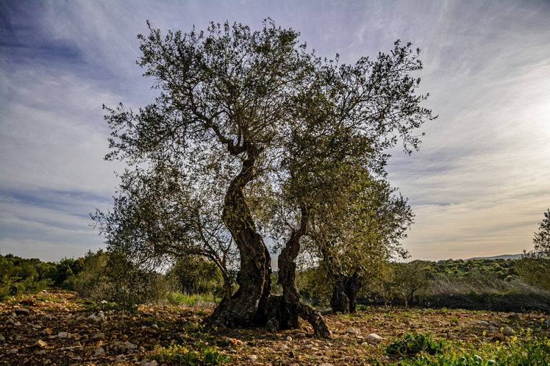 Olive trees is Galilee