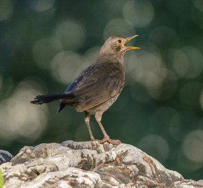 Blackbird - Turdus merula (female)