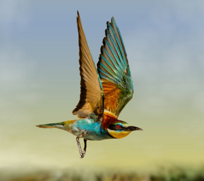 The bee-eater airshow