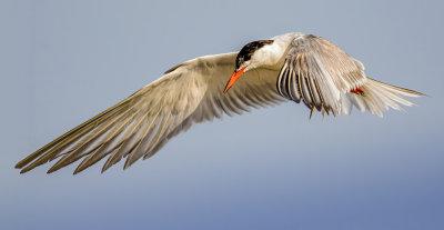 The tern-inator...