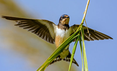 The swallow dance