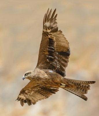Black kite - Milvus migrans