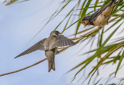 Swallow chit-chat
