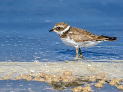 Young Common Ringed Plover