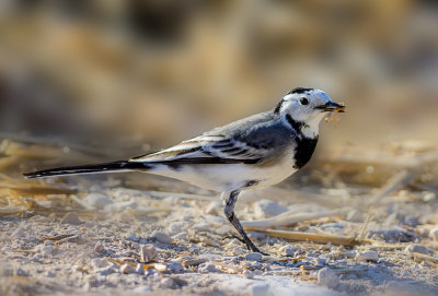 A wagtail meal