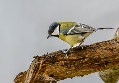 A very tiny Great Tit