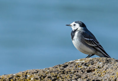 Wagtail drop-bill