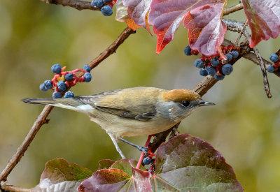 Warbler (female)