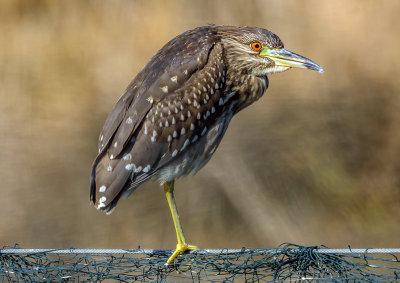 Night Heron (young)