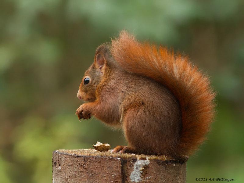 Sciurus Vulgaris / Eekhoorn / Red Squirrel