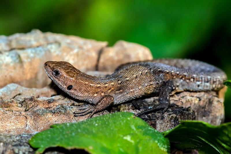 The Viviparous Lizard