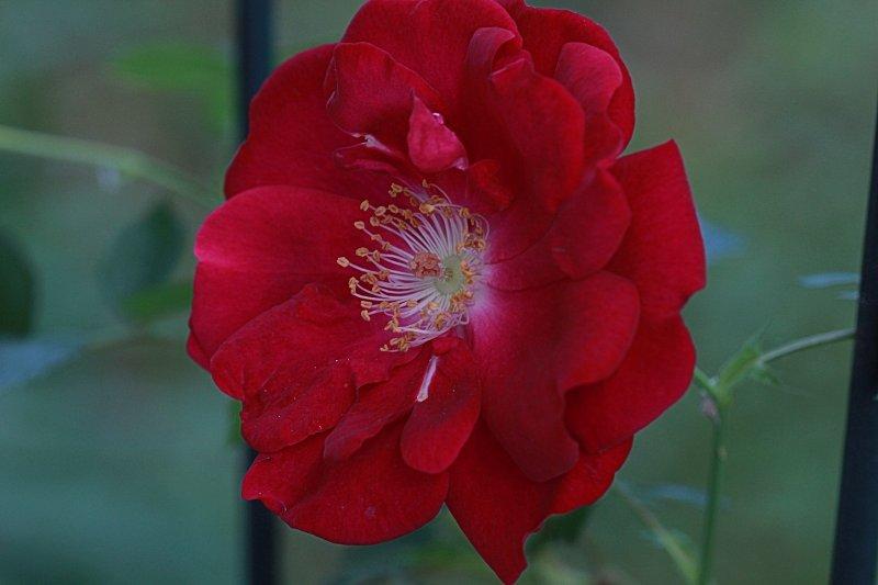 Rose Macro<BR>June 12, 2013