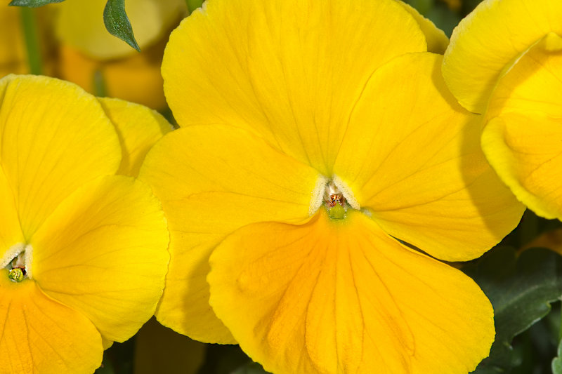Delicate Yellows