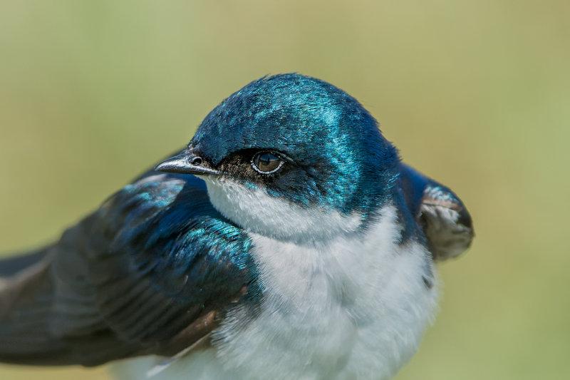 Tree Swallow Portrait