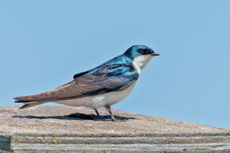 Tree Swallow On Nesting Box